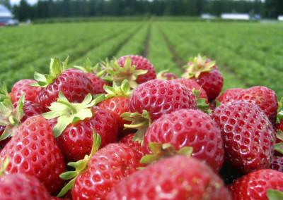 California Strawberry Salad